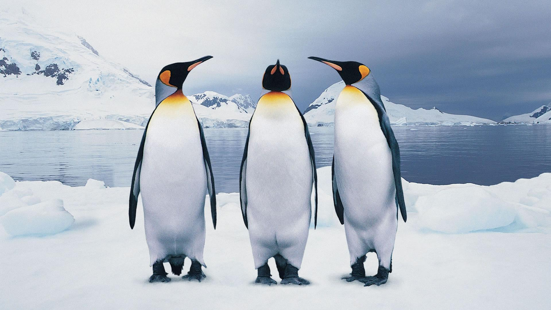 three-penguins